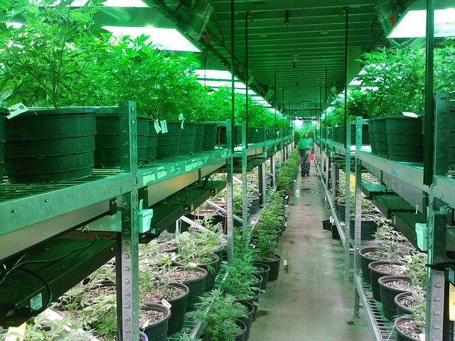cannabis cultivation business plan